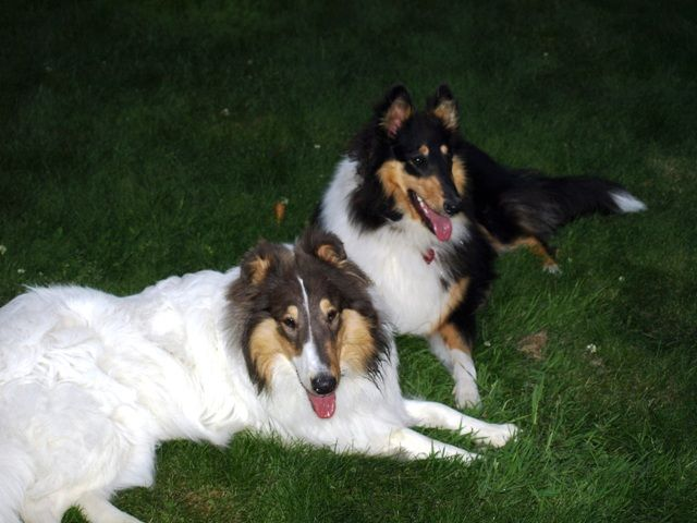 Gandalf And Indiana Gandalf Is A White Collie W Blue Merle