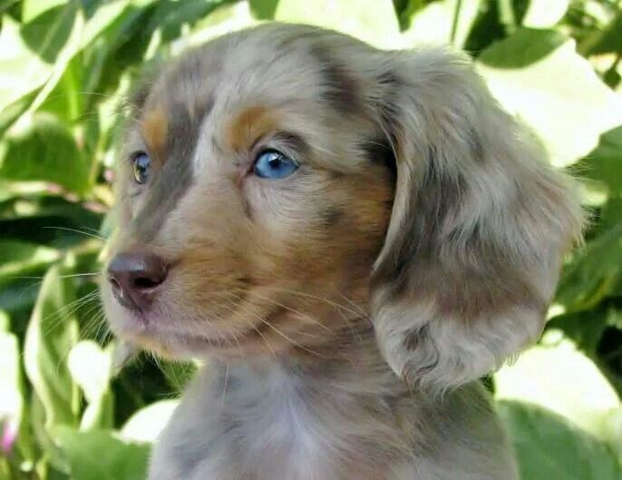 Blue Eyes Dachshund Puppies Puppies