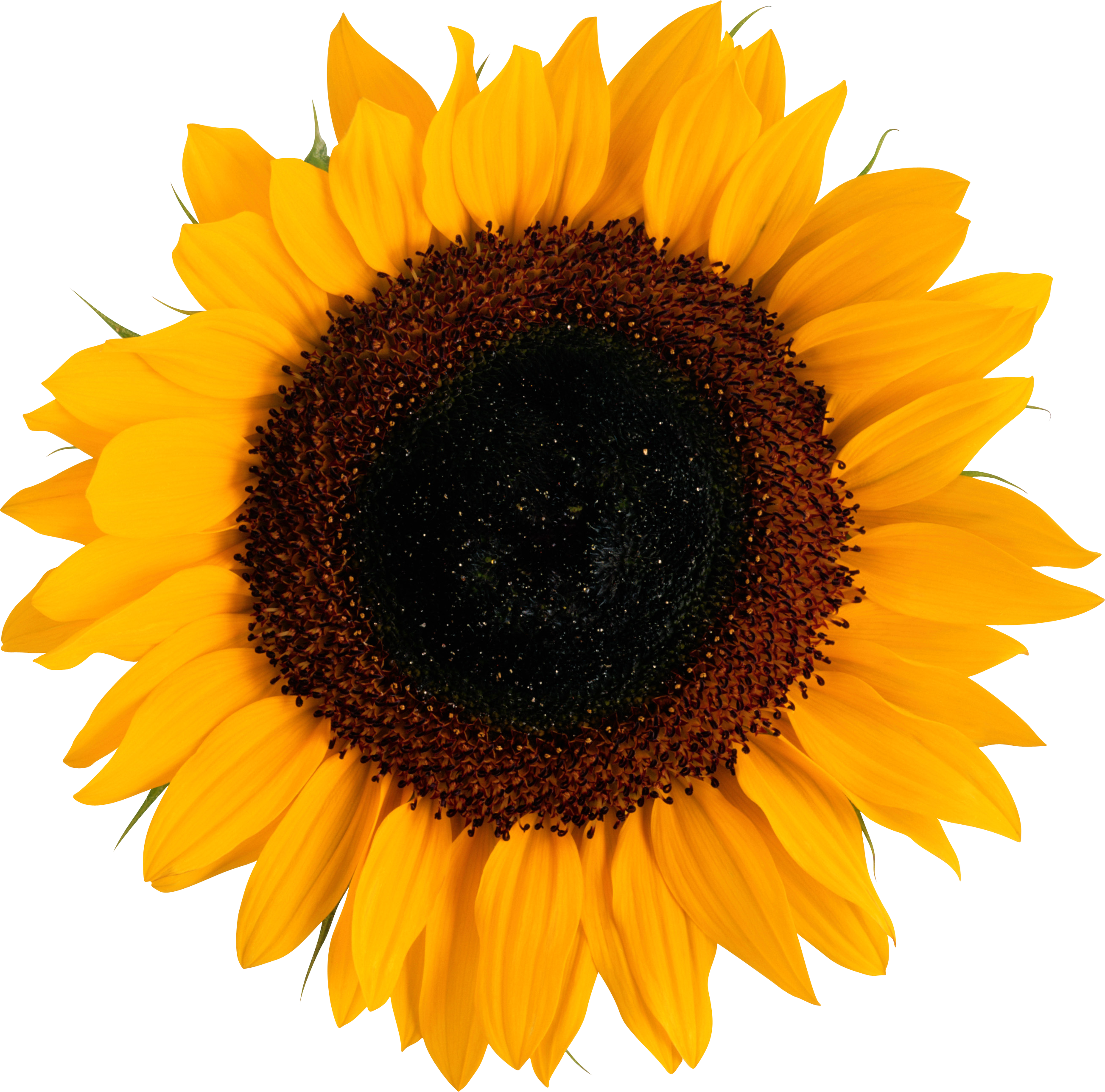 Sunflower PNG image with transparent background