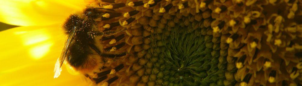 Bumblebee pollenating a sunflower
