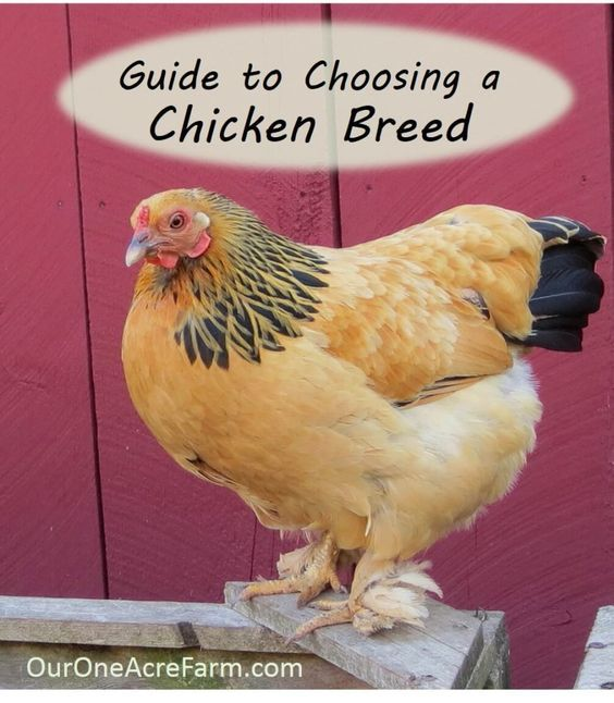 Guide to Choosing Chicken Breeds: Pick the Best Breeds for Your Flock - - Guide To Choosing Chicken Breeds: Pick The Best Breeds For Your