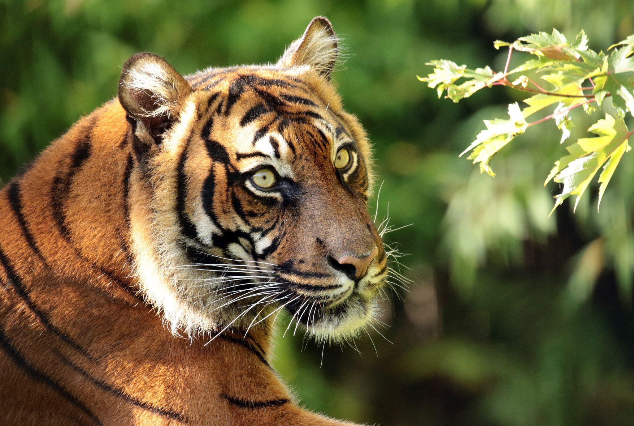 sumatraanse tijger Alia Blijdorp JN6A4372