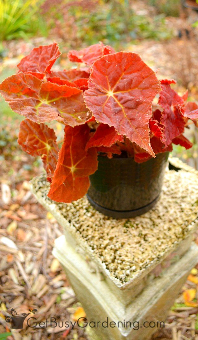 How To Care For Begonia Plants With Images Plants Plant Care