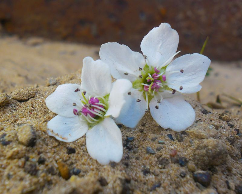 White flowers in the sand