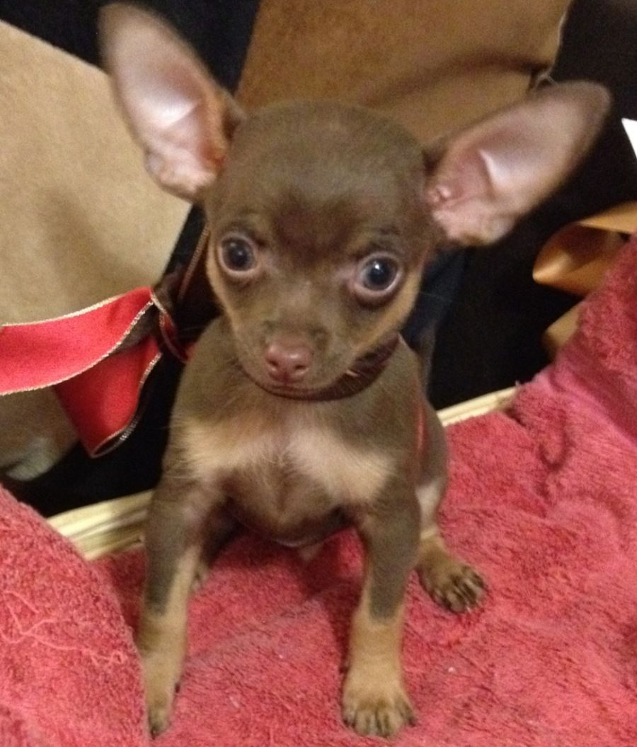 Chocolate/tan teacup chihuahua | Chevy | Pinterest ...