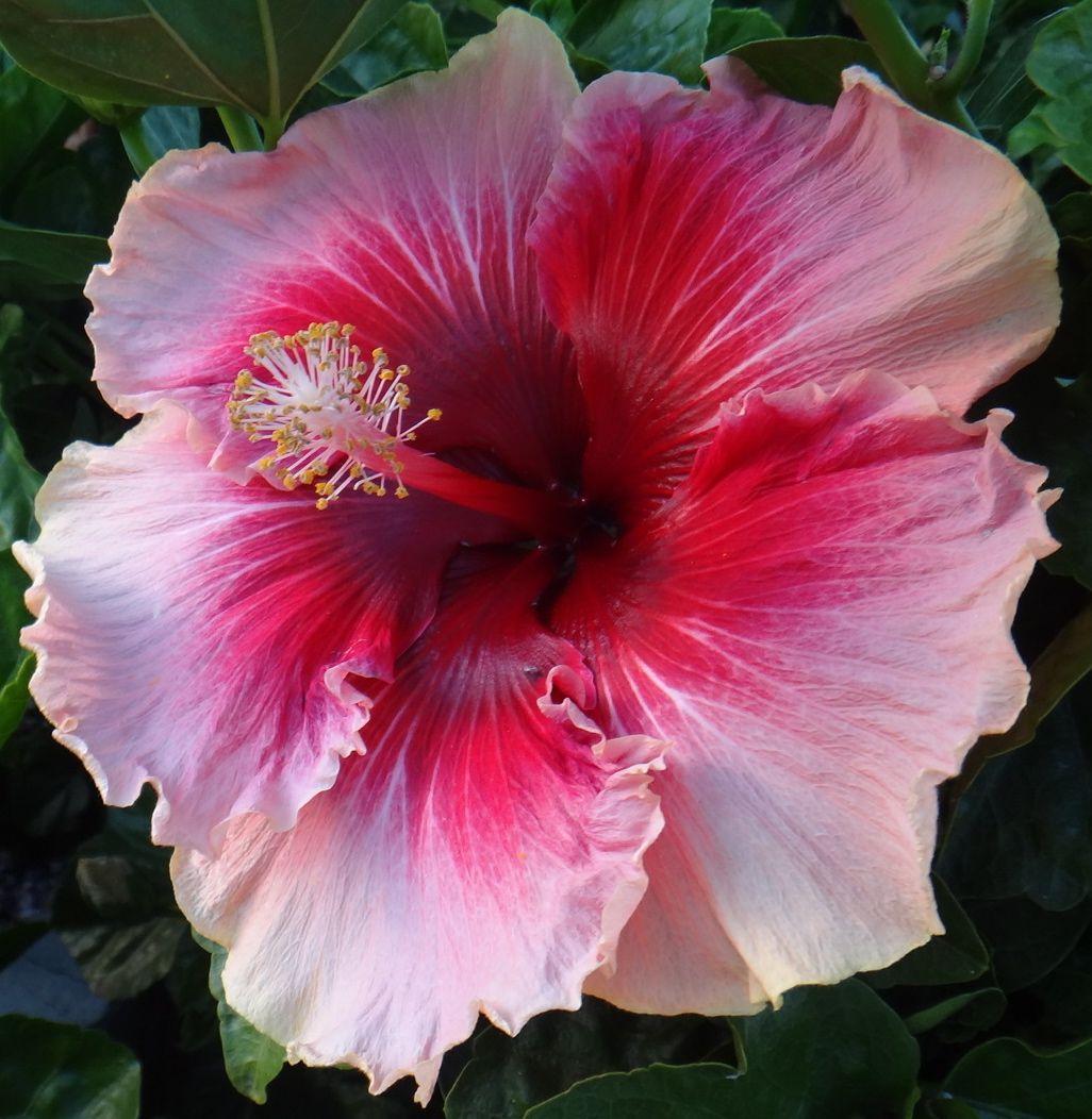 Valentines Day Mreginahibiscos Pinterest Hibiscus Flowers And
