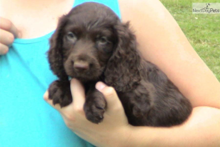 Ford Boykin Spaniel puppy for sale near Greenville