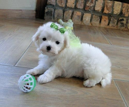 Sweet And Lovely Maltese Puppies For Adoption Dogs Pets