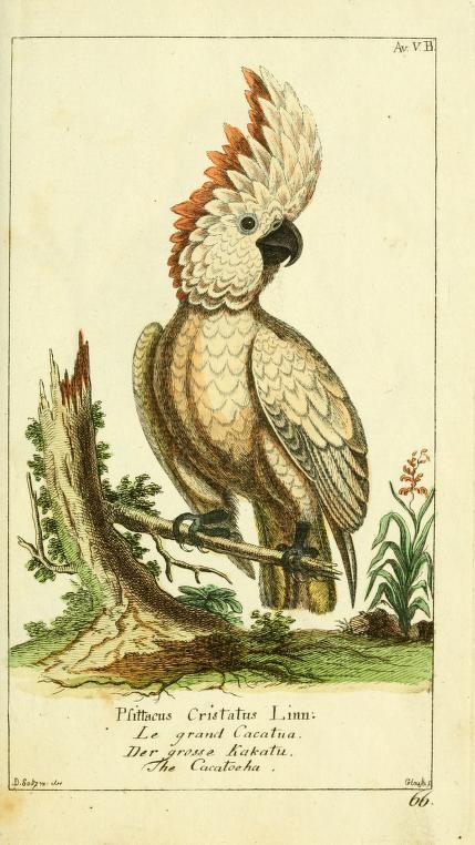 Cockatoo, Gemeinnüzzige Naturgeschichte des Thierreichs, Georg Heinrich Borowski, 1780-89.