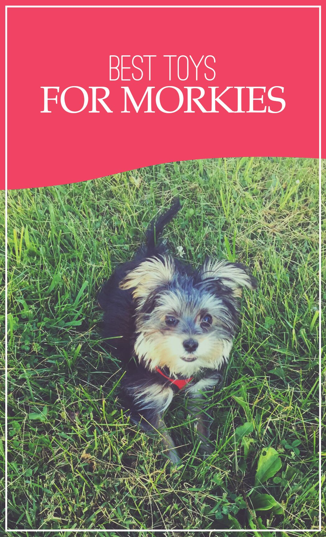The Best Toys For Morkie Puppies Morkie Puppies Morkie Morkie Dogs