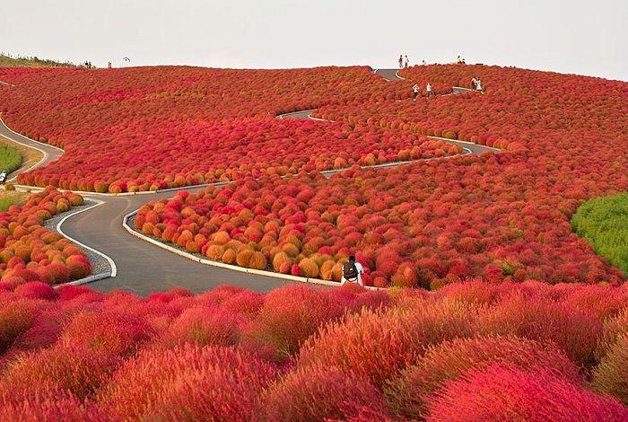 Удивительная палитра цветов в японском Hitachi Seaside Park.