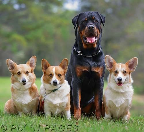 Rott Weiler And The Pips With Images Corgi Pembroke Welsh