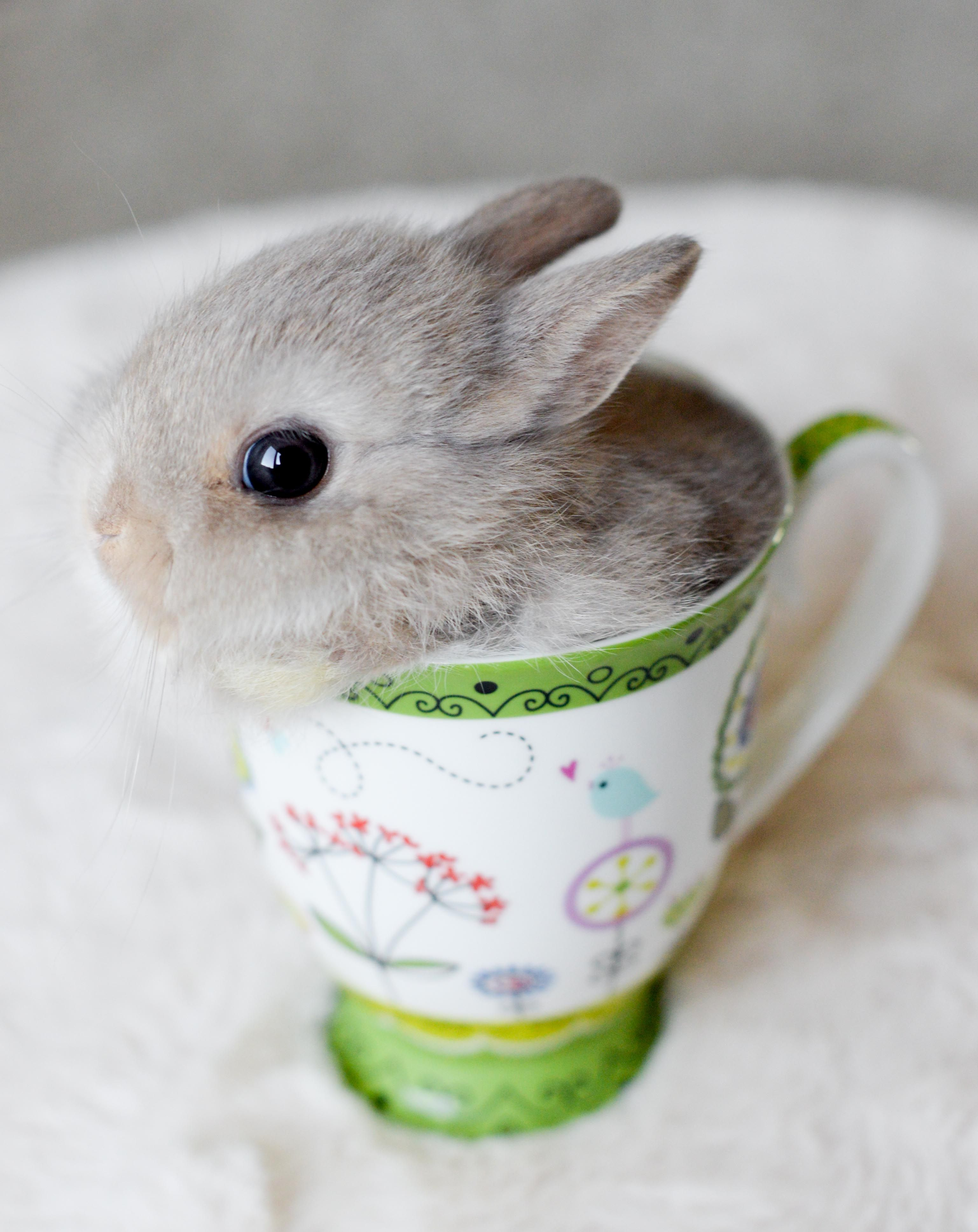 Baby Teacup Bunnies : teacup, bunnies, Teacup, Bunny., Animals,, Animals