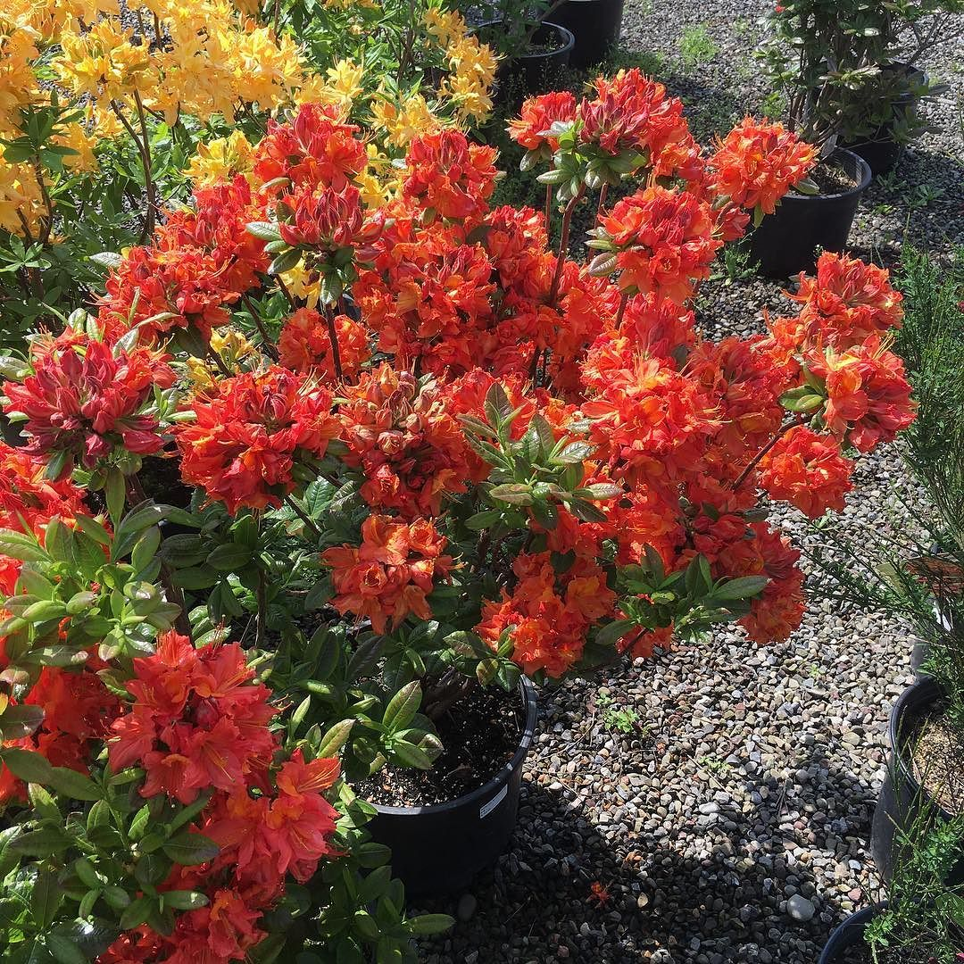 The Mary Poppins Deciduous Azalea is one of the deepest orange ...