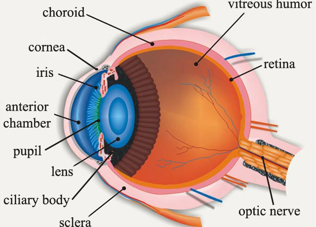 Simple Human Eye Diagram Electrical Ladder Software Cow Dissection Amazing Photos Eyes Eyeball