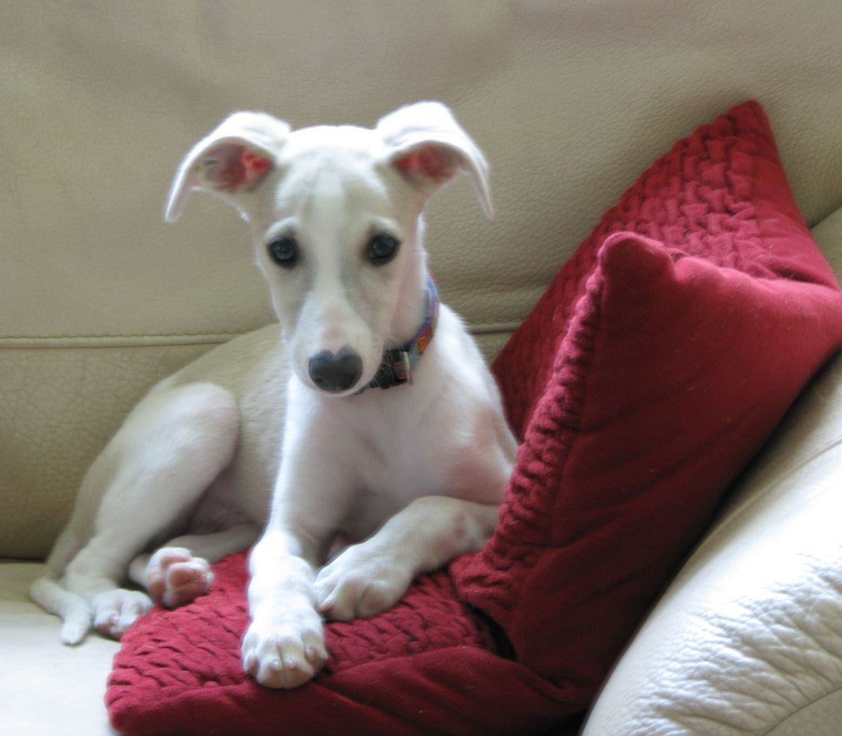 AKC whippet puppies for sale. Four males and one female