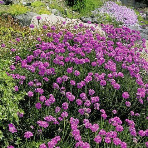 Strandnelke Grasnelke Garten Schlueter De Plants Garden Sog