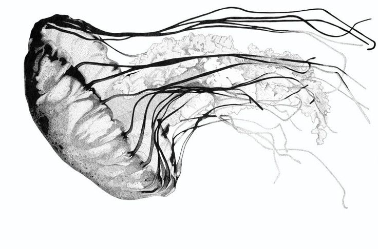 Line Drawing Jellyfish : Ink drawing jellyfish to draw