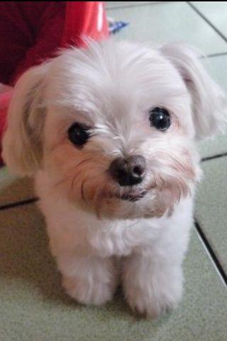 Happy Maltese puppy :)