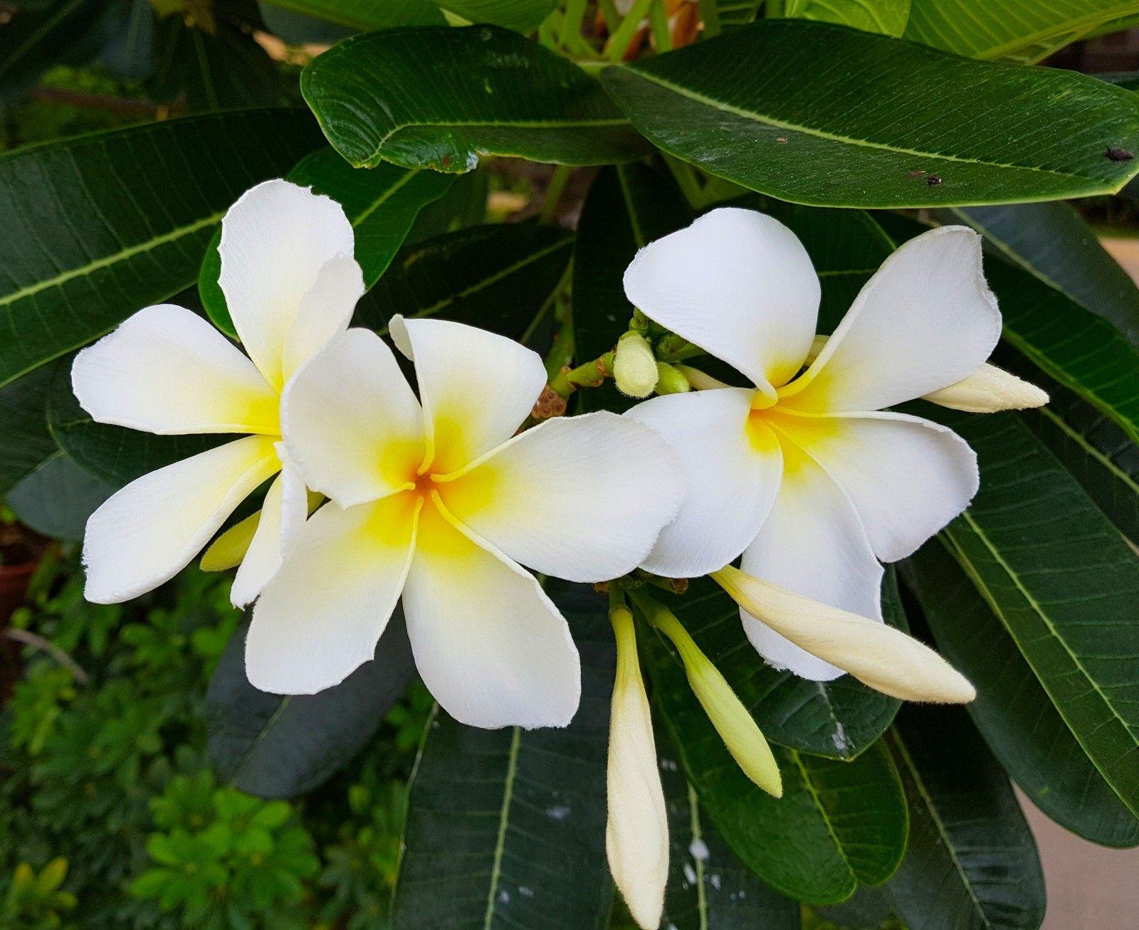 White Plumeria Fragrant Flower A Tropical Deciduous Flowering Shrub Floweringplant Plumeria Flowers Flower Flower Pots Sympathy Flowers Flower Pot Design
