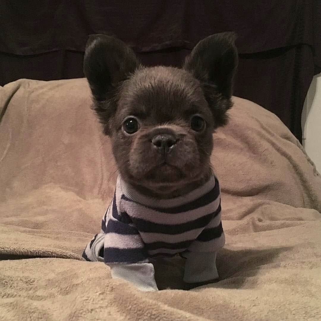 Fluffy Frenchie Fozzythefluffyfrenchie Follow Us For More
