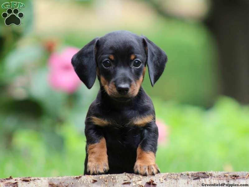 Dachshund Puppies For Sale Dachshund Dog Breed Info Dachshund