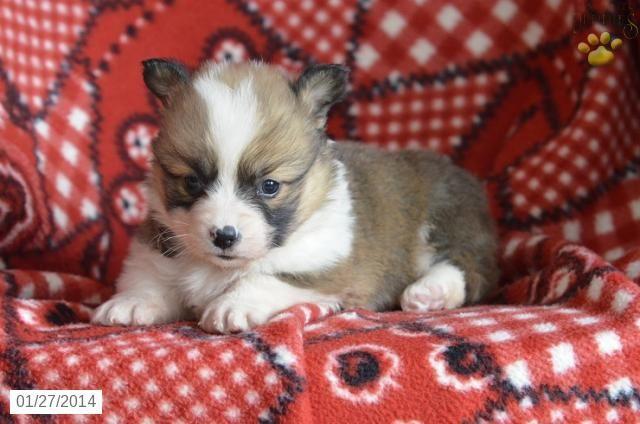 Troy Welsh Corgi Pembroke Puppy For Sale In Sugar Creek Oh Welsh Corgi Pembroke Puppy For Sale Puppies Corgi Welsh Corgi Puppies