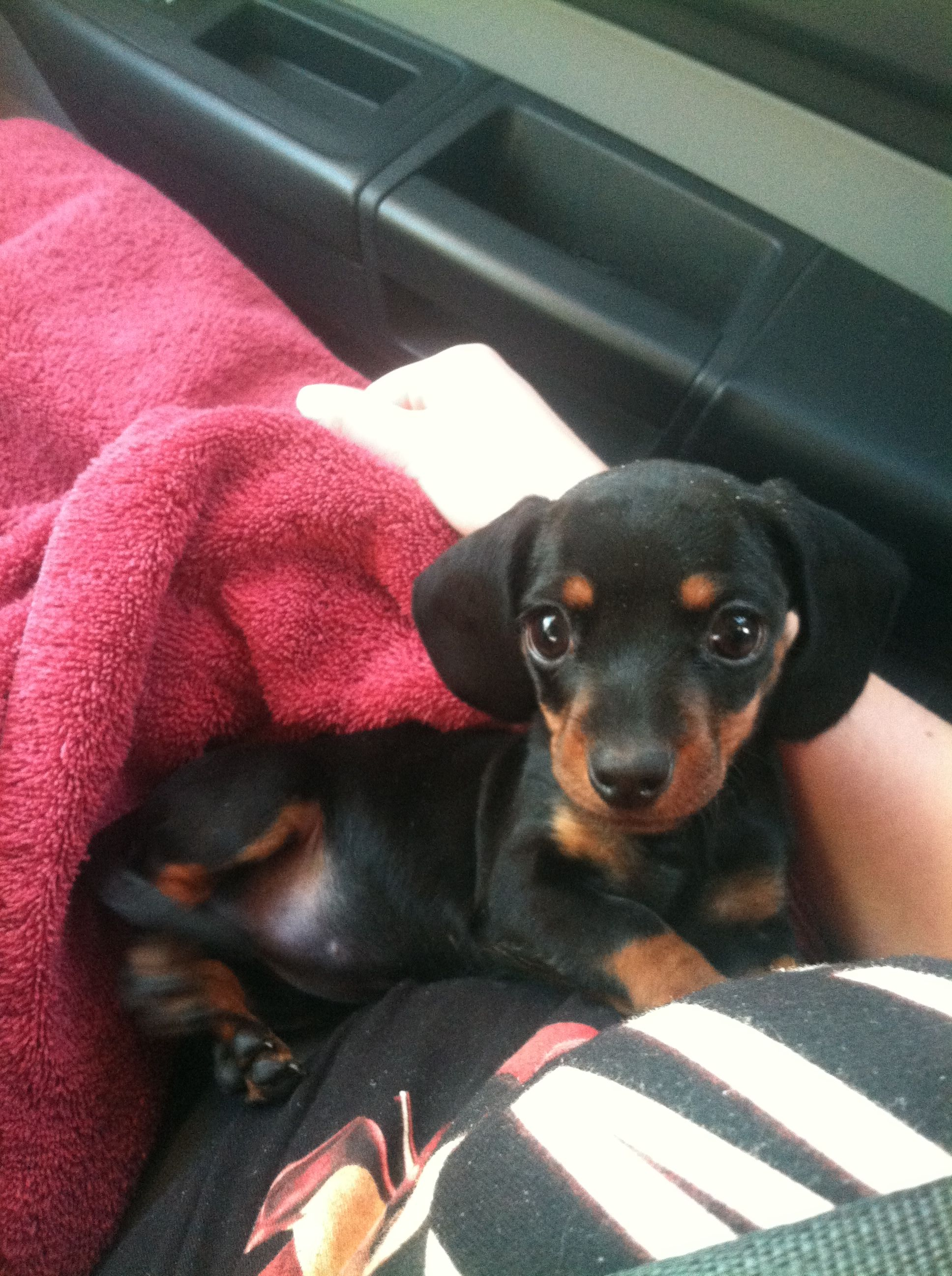Isabella smooth short haired black u tan mini dachshund funny
