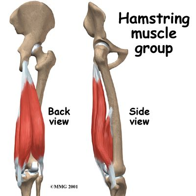 44++ What muscles are in the hamstring group trends