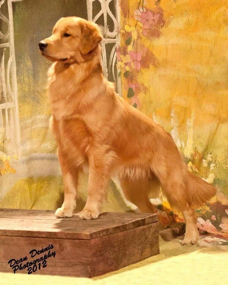Golden Retriever Noble Loyal Companions Most Beautiful Dog