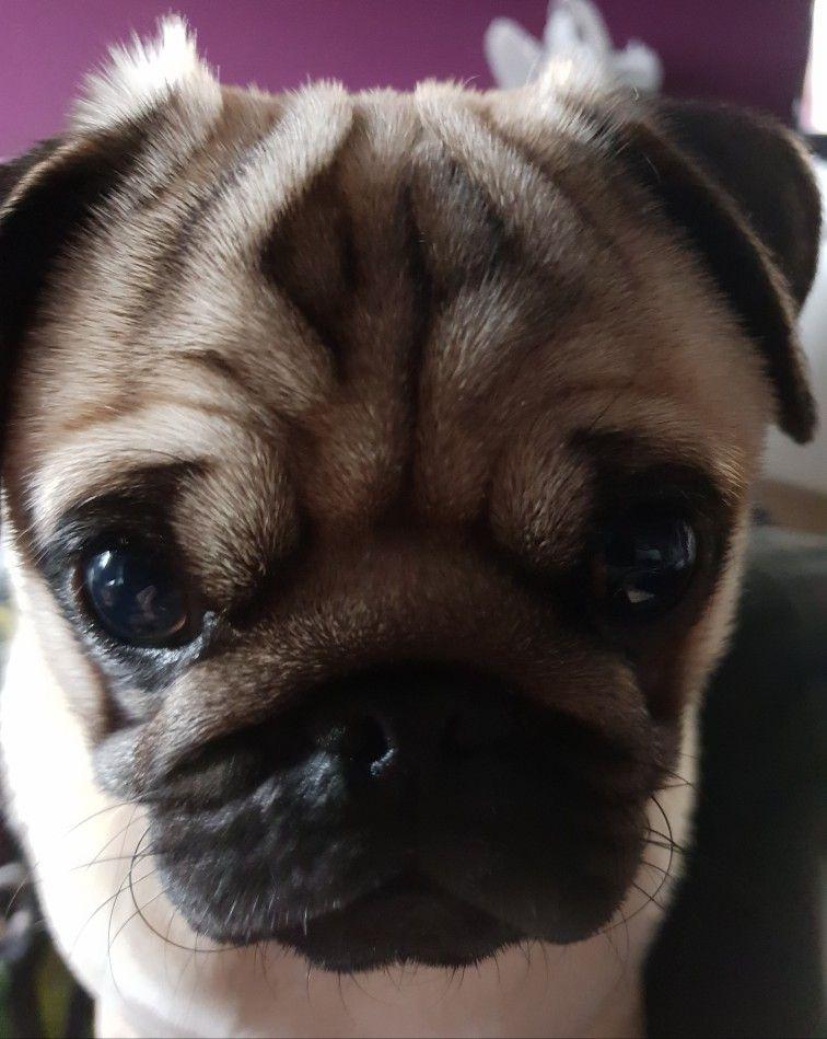 My Pug Boycie Pug Love Dogs