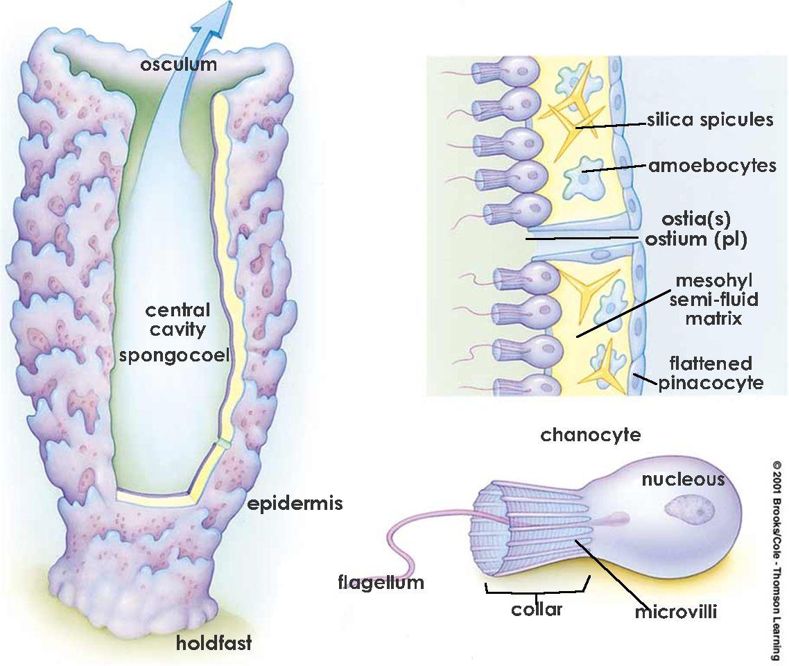 Phylum Porifera | Invertebrate Zoology | Pinterest | Bichos ...