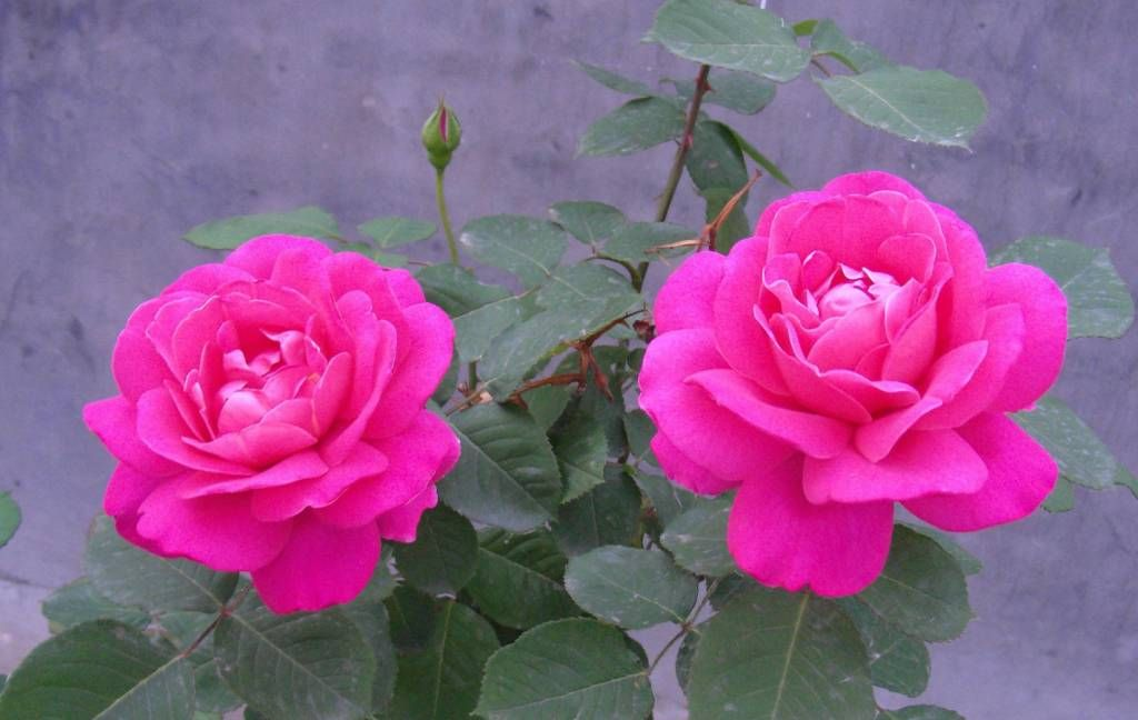 Download free most beautiful, best & lovely rose flower