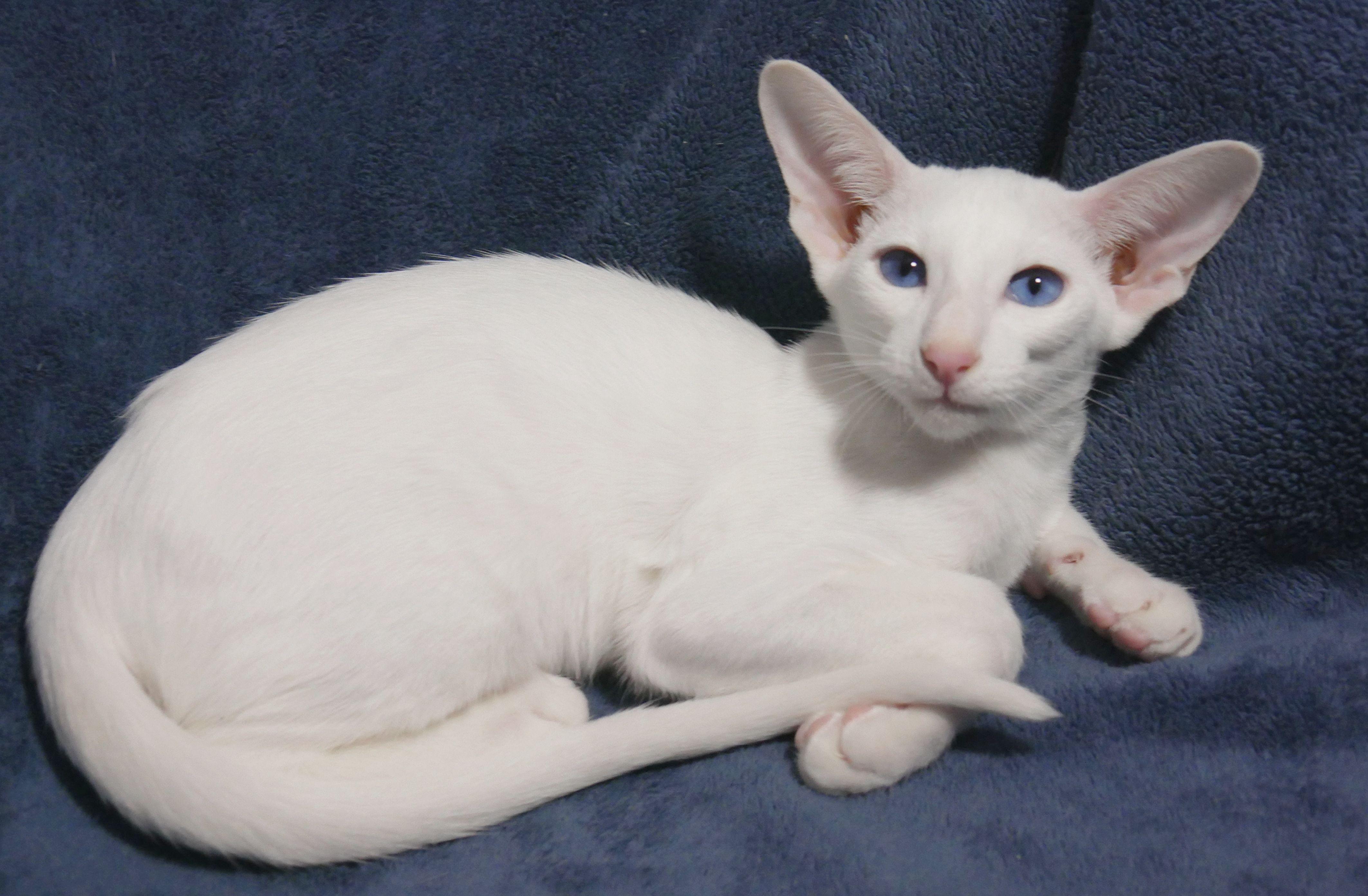 Azorez Bianca Snow Angel Blue Eyed White Oriental Shorthair Looking For A Kitten Conact Oriental Shorthair Cats Oriental Shorthair Kittens Oriental Shorthair