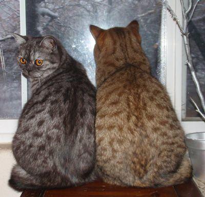 Champion British Shorthair Kittens Amp Cats California Usa