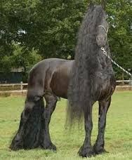 Image result for images of Friesian horses