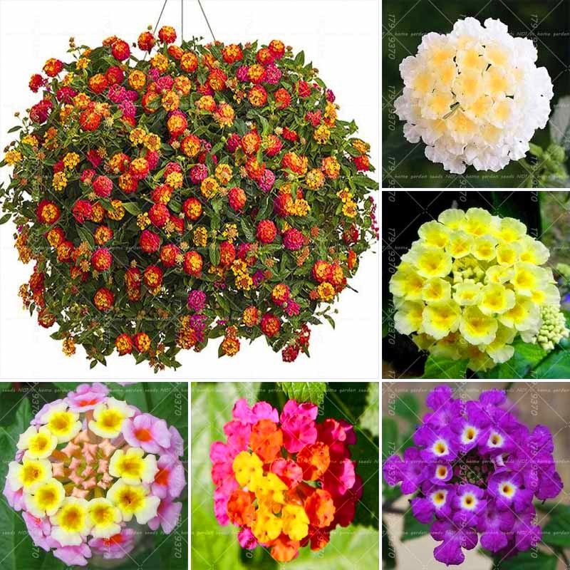 50pcs Lantana Camara Five Colors Hydrangea Flower Perennial Bonsai Ornamental Plant For Home Garden Review Flower Seeds Ornamental Plants Flower Pots