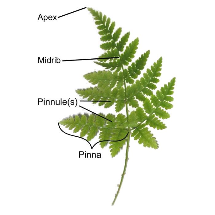Fern Structure In 2020 Ferns Plant Information Invasive Plants