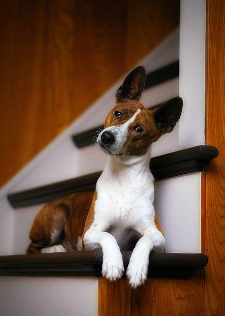 You Got Some Splainin To Do Dog Breeds That Dont Shed Dog Breeds Medium Cute Dogs Breeds
