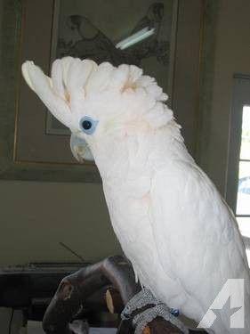 Handfed Ducorps Cockatoos   Birds   Cockatoo, Birds, Parrot