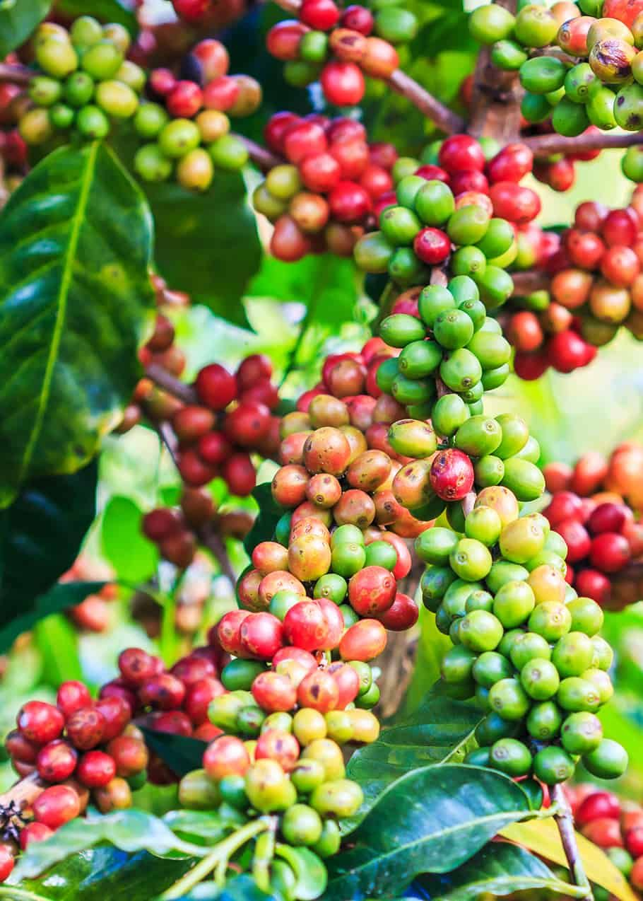 What Is Arabica Coffee Arabica Vs Robusta 11 Tasty Differences Coffee Type Types Of Coffee Beans Growing Coffee