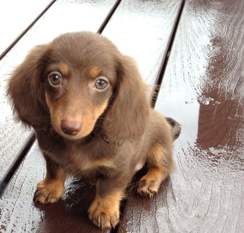 10 Week Old Dachshund Puppy Baby Dachshund Cute Puppies And