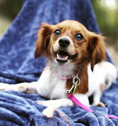 Adopted Lucy Papillon Dachshund Mix Wichita Ks Adult