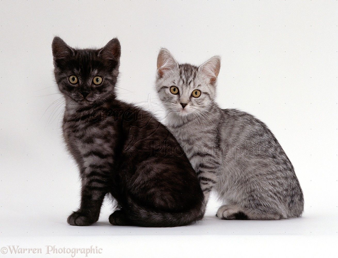 Two British Shorthair Smoke And Silver Spotted Kittens Photo British Shorthair Kitten Photos Kittens