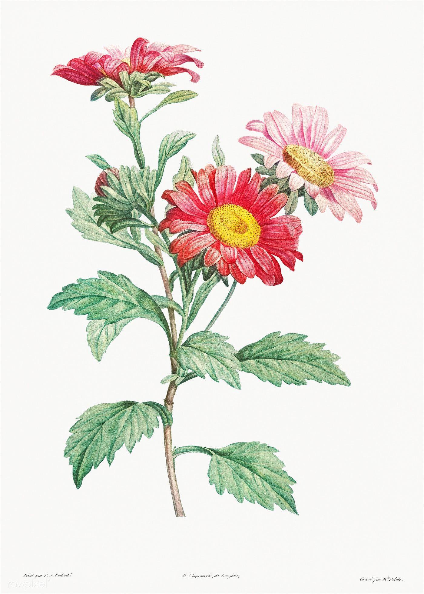 Red Aster From La Botanique De J J Rousseau By Pierre Joseph Redout Eacute 1759 Ndash 1840 Original Flower Illustration Flower Drawing Plant Illustration