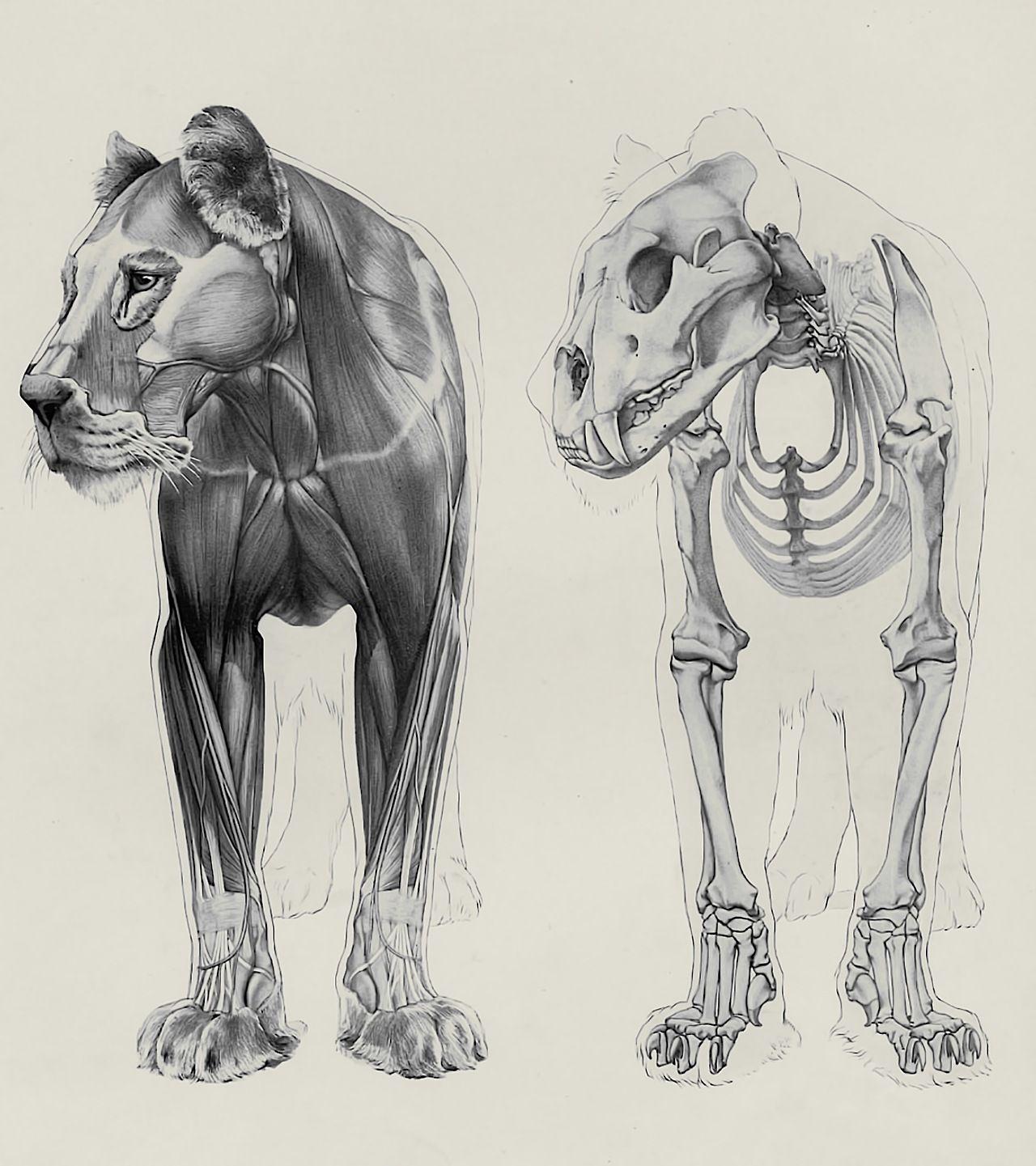 clawmarks - Herman Dittrich - Handbuch der Anatomie der Tiere ...