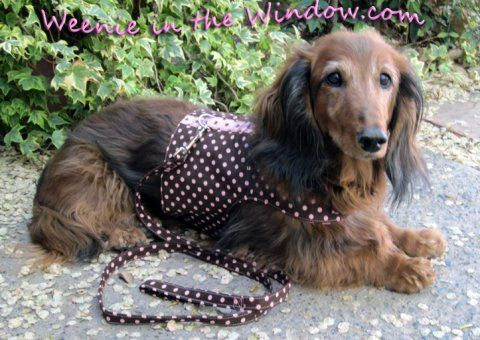Weenie In The Window Custom Dachshund Harnesses Dachshund