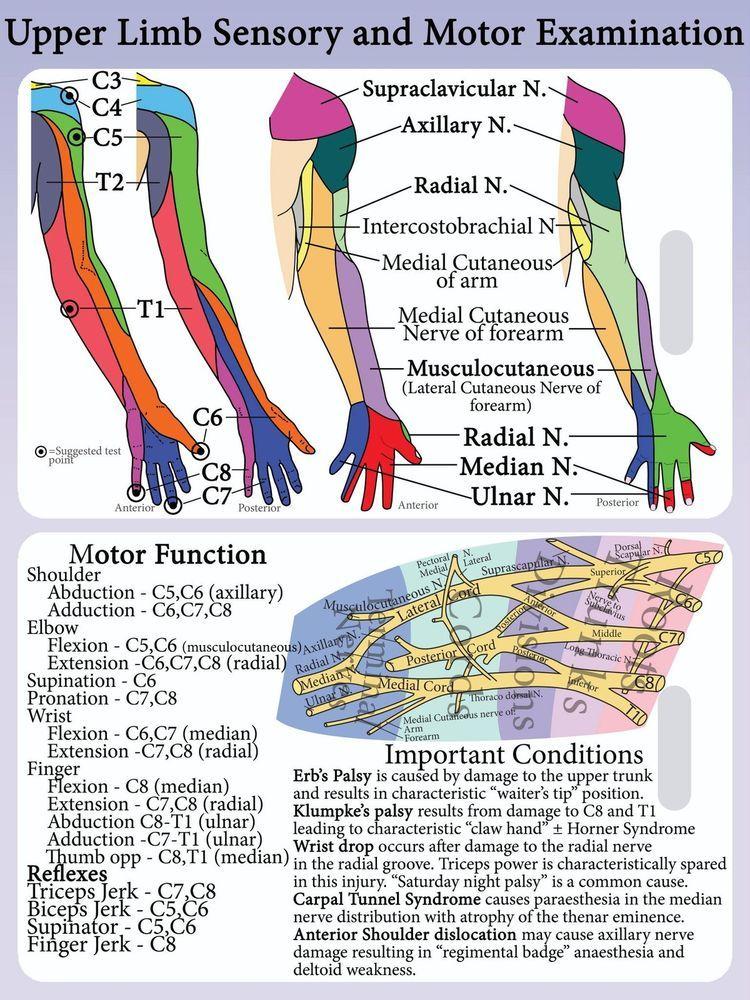 Upper Limb Dermatome + Myotome PVC Lanyard Card - Brachial ... Upper Extremity Myotomes