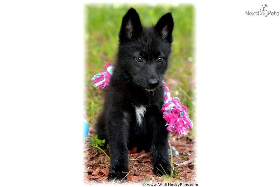 Wolf Hybrid Puppy For Sale Near Tampa Bay Area Florida 29da1946