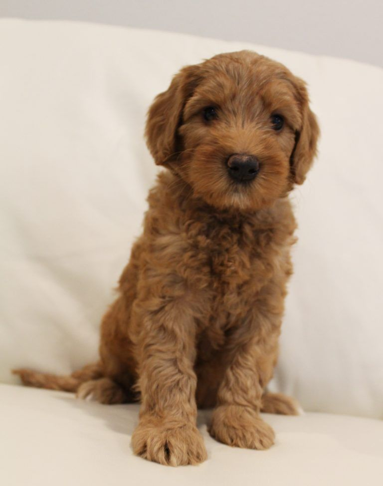 Puppies Available Soon Click Read More For Upcoming Litters
